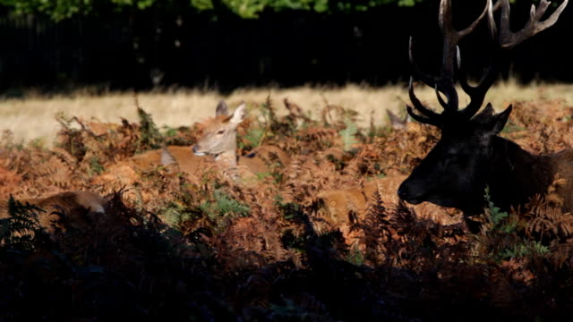 autumn stag with hinds harem in rut 2012 hd video - bracken stock videos and b-roll footage