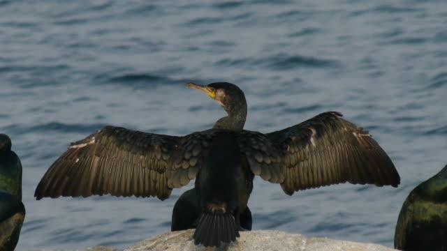 vidéos et rushes de one cormorant is spreading wings on the rock - petit groupe d'animaux