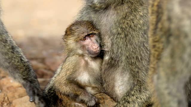 One eye blind Mother Baboon