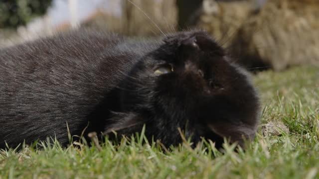 草の上に横たわる一匹の目の黒い猫 - ショートヘア種の猫点の映像素材/bロール