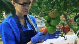 One farmer checks ripe tomatoes in greenhouse.