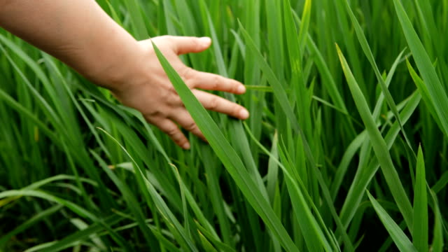 one hand touching rice seeding - touching stock videos & royalty-free footage