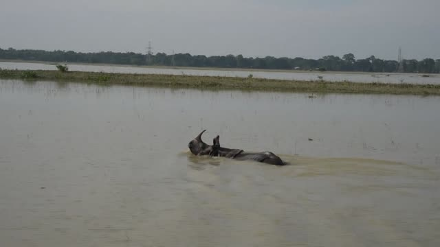 One horned rhinoceroses and wild buffalos wade through flood waters at the flooded Pobitora wildlife sanctuary in India's northeastern Assam as...