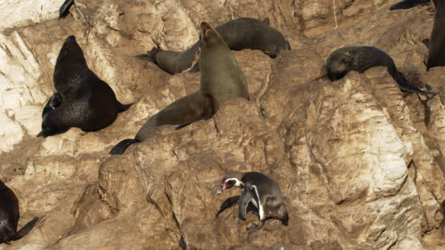 one humboldt penguin in the middle of sea lions / punta san juan, peru, south america - pod group of animals stock videos & royalty-free footage