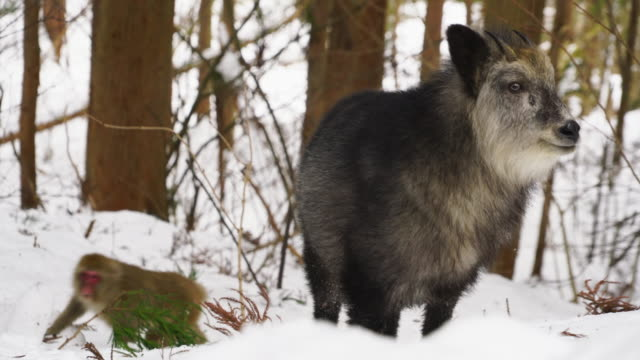 one japanese serow (capricornis crispus) and a snow monkey appear among the snowy forest at nagano japan on feb. 18 2019. - putsa sig bildbanksvideor och videomaterial från bakom kulisserna