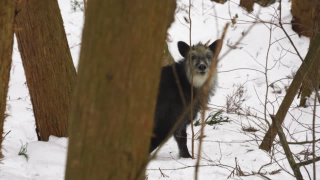 one japanese serow (capricornis crispus) appears among the snowy forest around the footpath at nagano japan on feb. 18 2019. - conceptual symbol stock videos and b-roll footage