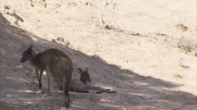 One kangaroo scratches in the sand as another lounges nearby.