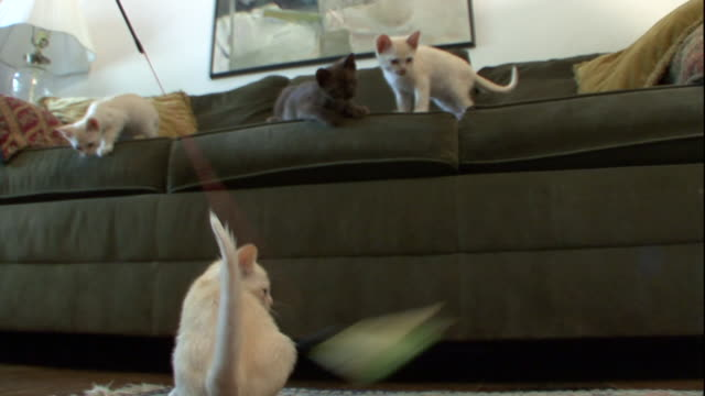 one kitten plays with a toy on a string while three others watch. - curiosity stock videos & royalty-free footage