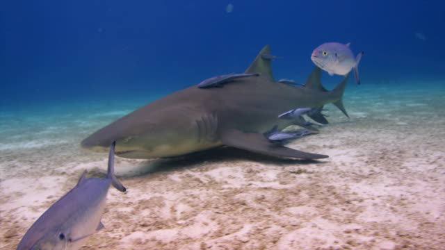 vídeos de stock, filmes e b-roll de one lemon shark covered with remoras  swims in, jacks in foreground, sand bottom, other lemon sharks background.  bahamas - rêmora