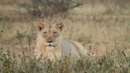 One lioness resting.
