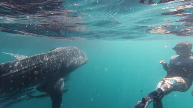 one male eco tourist free diving with whale shark (rhincodon typus) endangered species swimming in the sea - andaman sea stock videos & royalty-free footage