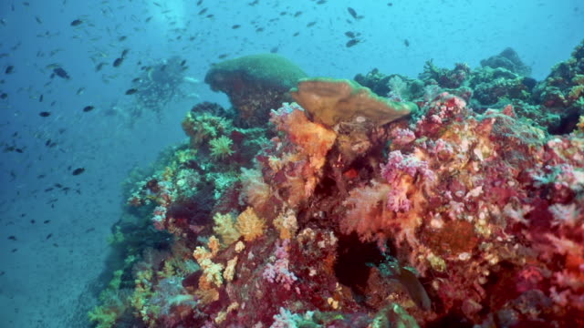 one man scuba diving filming with action camera on colorful underwater tropical coral reef - andaman sea stock videos & royalty-free footage