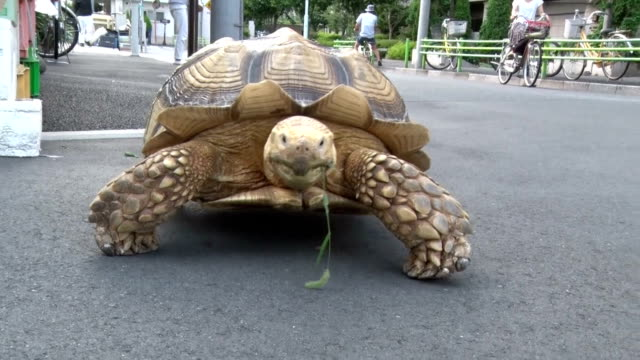 "one meter-long tortoise has become the quite hot topic recently around tsukishima, downtown of tokyo, popularly known as ""monja town"" in chuo ward... - hand weight stock videos & royalty-free footage"
