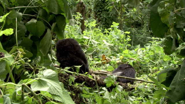 One mountain gorilla reaches out and grabs another gorilla. Available in HD.