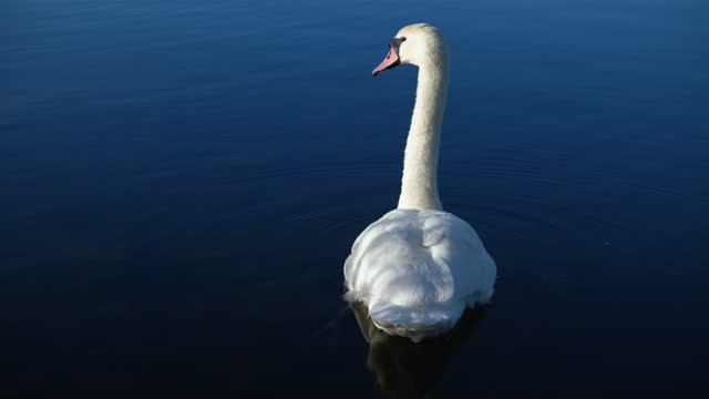 one mute swan alone on a lake on a spring morning - water bird stock videos & royalty-free footage
