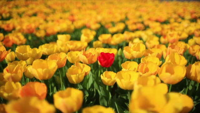 one of a kind tulip - standing out from the crowd stock videos & royalty-free footage