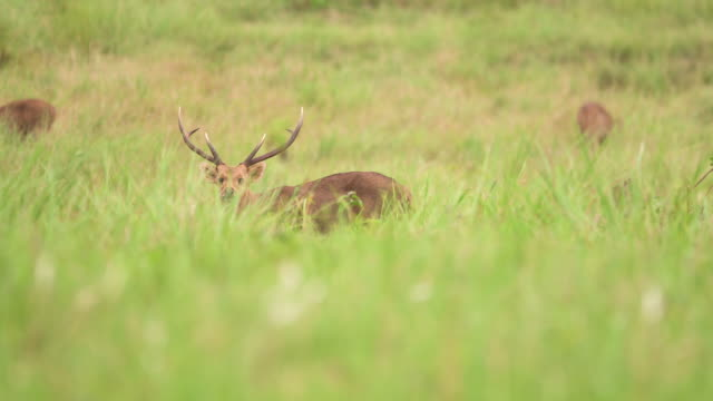 one of male young deer in herd look at camera and continue eating - fawn stock videos & royalty-free footage