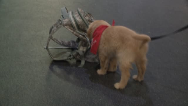 WHO One of six golden retriever puppies that the Puppy Jake Foundation brought to Iowa from Florida last week in order to start training them to...