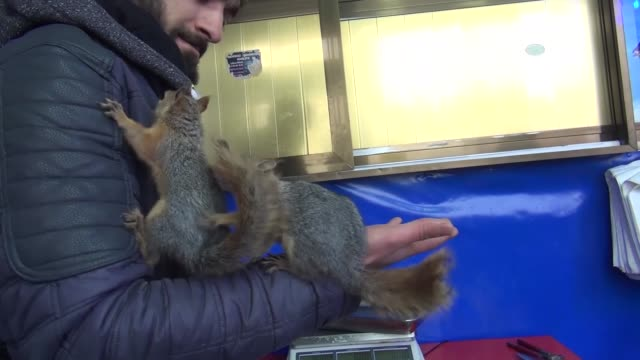 One of the two baby squirrels found near its' dead mother among the trees and brought to Fisherman's Market feeds in Mus province of Turkey on...