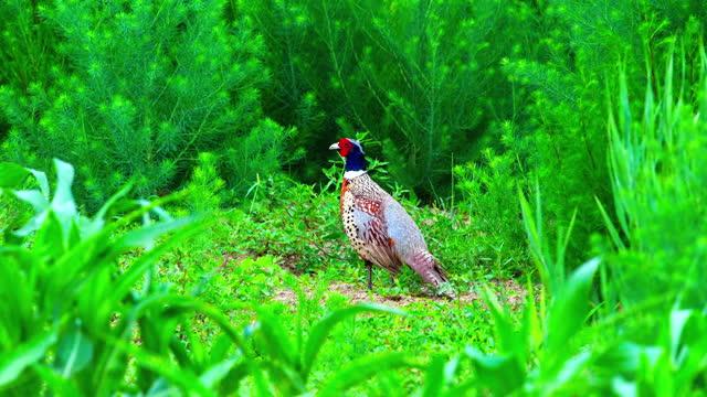 one pheasant walking on the wild field - tierkörper stock-videos und b-roll-filmmaterial