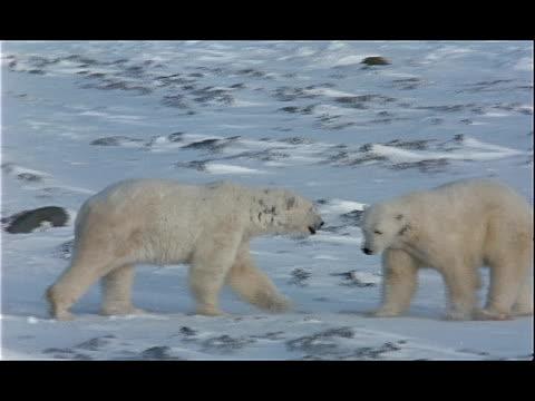 one polar bear drives away another polar bear. - 水の形態点の映像素材/bロール