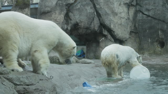 One polar bear tosses a toy in the water, another jumps to retrieve it
