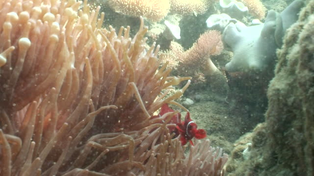 ms one red clown fish dart in anemone  audio / queensland, australia - sea anemone stock videos and b-roll footage
