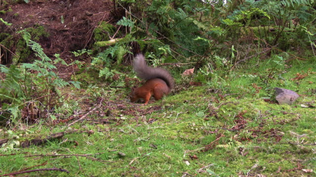 one red squirrel chasing another red squirrel away from the food in scottish woodland on a summer morning - johnfscott stock videos & royalty-free footage