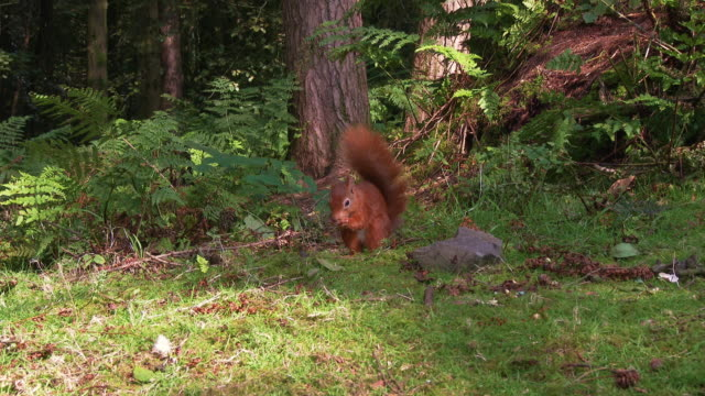 one red squirrel eating a nut in scottish woodland on a summer morning - johnfscott stock videos & royalty-free footage