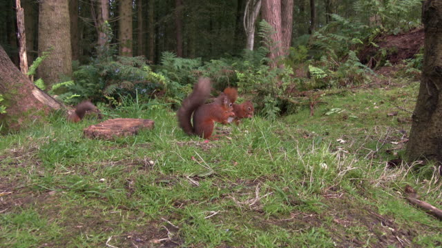 one red squirrel eating a nut when another two squirrels show up in an area of scottish woodland in south west scotland - dumfries and galloway stock videos & royalty-free footage