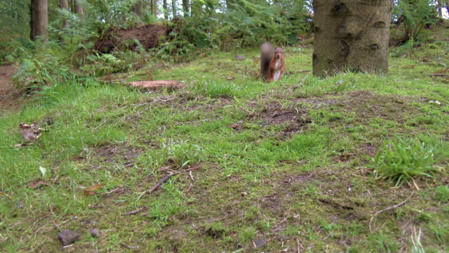 one red squirrel entering the frame picking up a nut and eating it in scottish woodland - galloway scotland stock videos & royalty-free footage