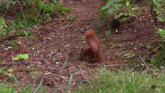 one red squirrel finding a nut in an area of scottish woodland in south west scotland before running away - johnfscott stock videos & royalty-free footage