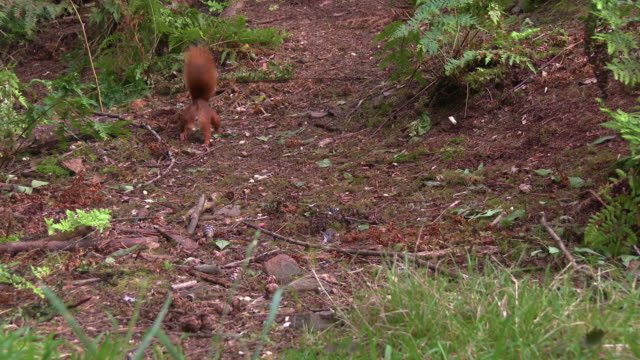 one red squirrel finding a nut in scottish woodland in south west scotland before running away - johnfscott stock videos & royalty-free footage