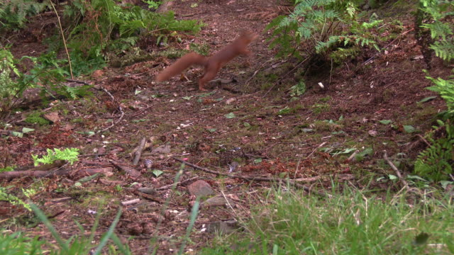 one red squirrel finding a nut on the ground in scottish woodland before running away - johnfscott stock videos & royalty-free footage