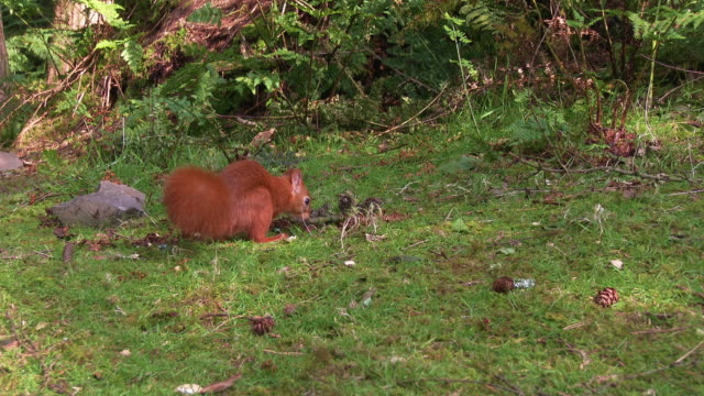 one red squirrel finishes eating a nut and runs away in scottish woodland - johnfscott stock videos & royalty-free footage