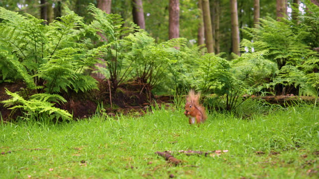 one red squirrel in a scottish woodland environment - rodent stock videos & royalty-free footage