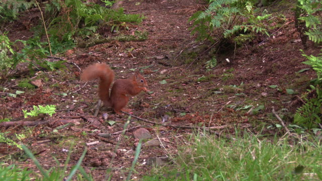 one red squirrel looking for and finding a nut on the ground in scottish woodland before running away - johnfscott stock videos & royalty-free footage
