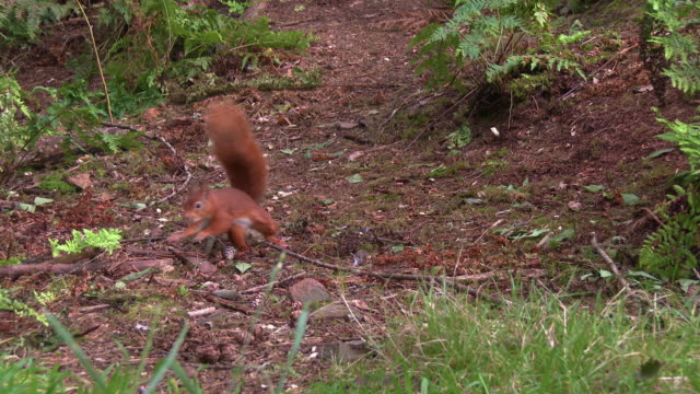 one red squirrel looking for any nuts on the ground in scottish woodland before running away - johnfscott stock videos & royalty-free footage