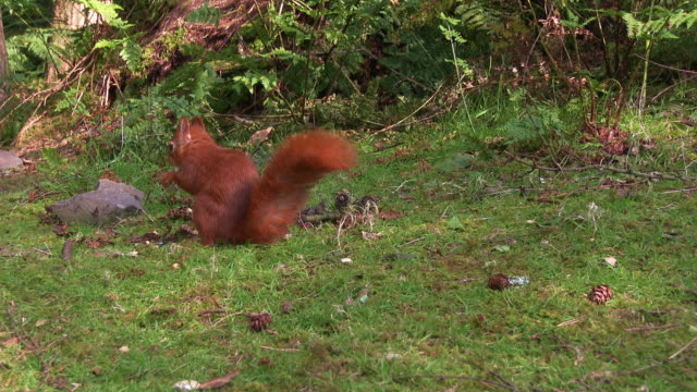 one red squirrel looking for any nuts on the ground in scottish woodland - johnfscott stock videos & royalty-free footage
