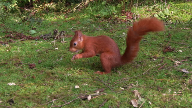 one red squirrel looking for any nuts on the ground in scottish woodland before turning it's back to the camera - johnfscott stock videos & royalty-free footage