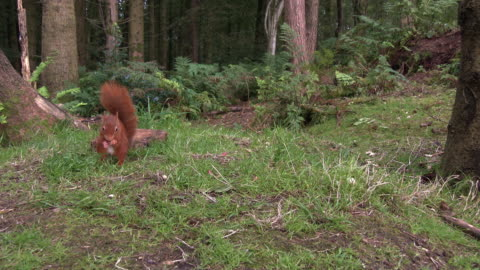 one red squirrel looking for food on the ground and then eating a nut in an area of scottish woodland - tail stock videos & royalty-free footage