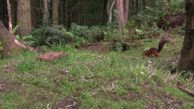 one red squirrel looking for food on the ground in an area of scottish woodland - galloway scotland stock videos & royalty-free footage