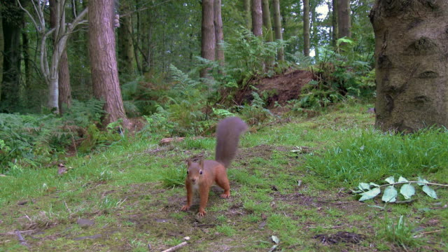 one red squirrel running towards the camera in scottish woodland on a summer morning - galloway scotland stock videos & royalty-free footage