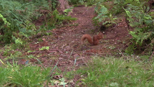 one red squirrel scenting the ground for food in an area of scottish woodland in south west scotland - johnfscott stock videos & royalty-free footage