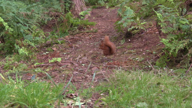 one red squirrel stops eating a nut to look at the camera in an area of scottish woodland in south west scotland - johnfscott stock videos & royalty-free footage