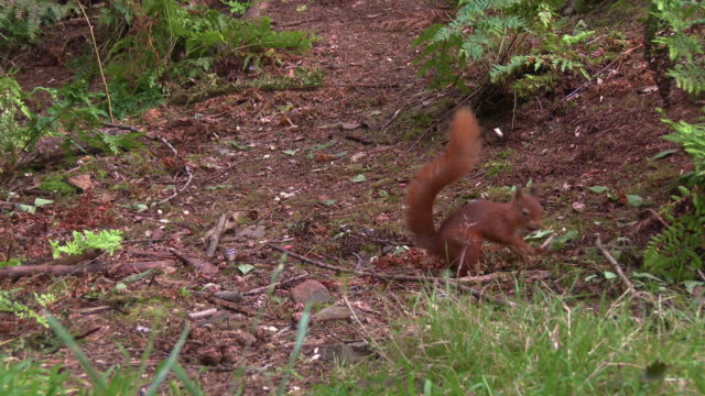 one red squirrel successfully finding a nut in an area of scottish woodland in south west scotland - johnfscott stock videos & royalty-free footage