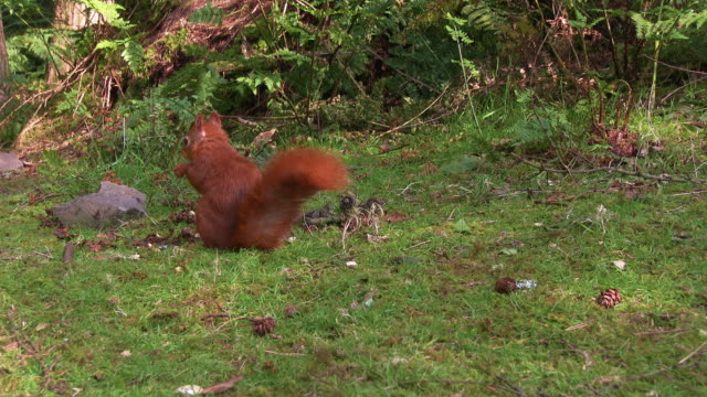 one red squirrel with it's back to the camera eating a nut in scottish woodland - johnfscott stock videos & royalty-free footage