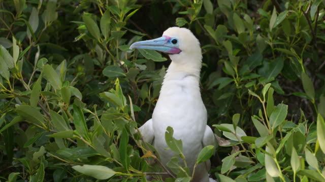 vídeos y material grabado en eventos de stock de one red-footed booby (sula sula) perched on a branch - alcatraz patirrojo