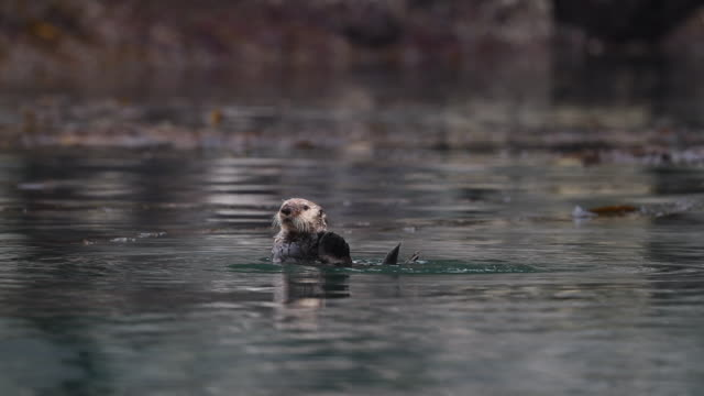 one sea otter (enhydra lutris) floating its back - otter stock videos & royalty-free footage
