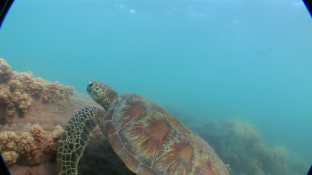 MS TS One sea turtle swimming in great Barrier reef  AUDIO / Queensland, Australia